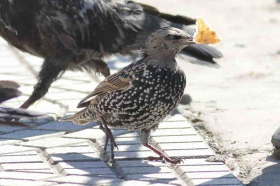 Estornino pinto/European Starling