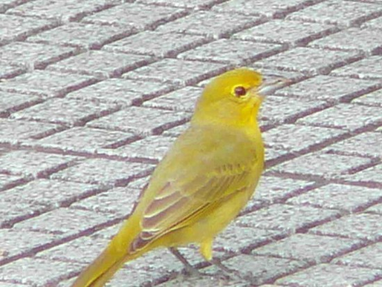 Fueguero común H/Hepatic Tanager F