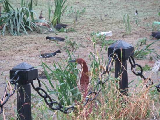 Hocó-pollonas/Tiger-Heron-Gallinules