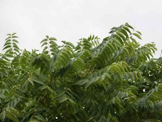 Árbol del cielo/Tree of heaven