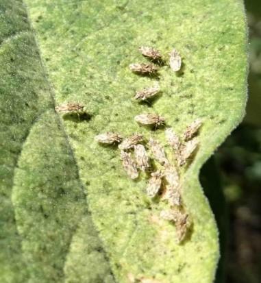 Corythaica sp.