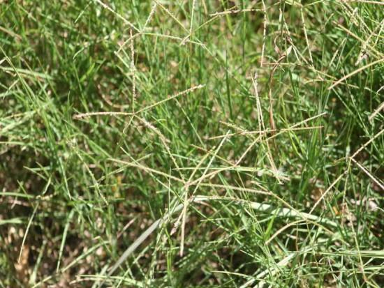 Pasto bermuda/Bermuda grass