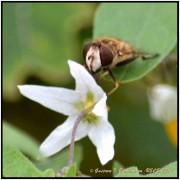 Flia Syrphidae