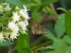 Hierbera común/Fawn-spotted Skipper