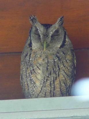 Alilicucu común/Tropical Screech Owl