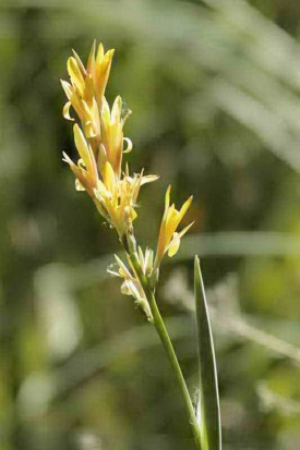 Achira amarilla/Louisiana canna