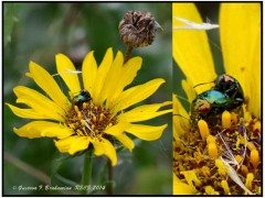 Flia Chrysomelidae