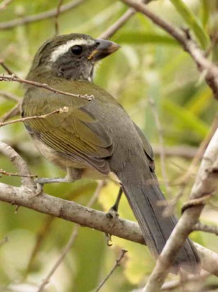 Pepitero verdosoJ/Green-winged SaltatorJ