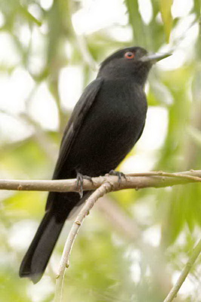 Viudita pico celesteM/Blue-billed Black-TyrantM