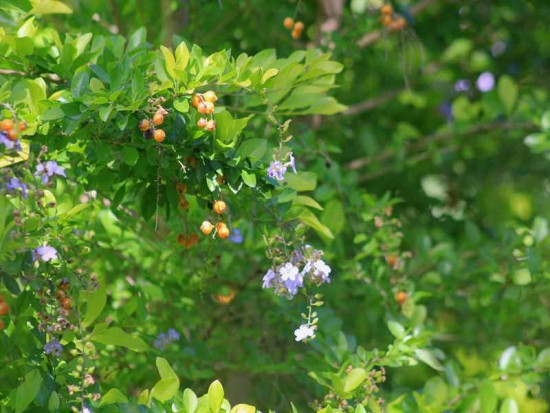 Garbancillo/Golden dewdrops