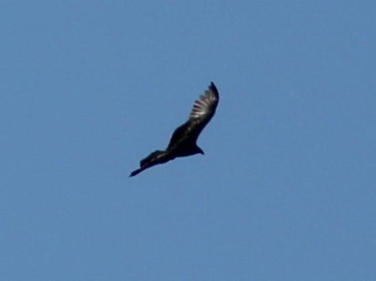 Jote/Vulture