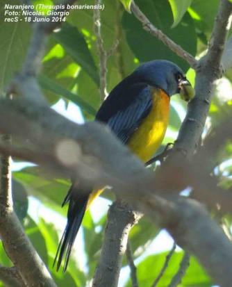 Naranjero M/Blue-and-yellow TanagerM