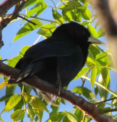 Boyero negro/Black Solitary Cacique