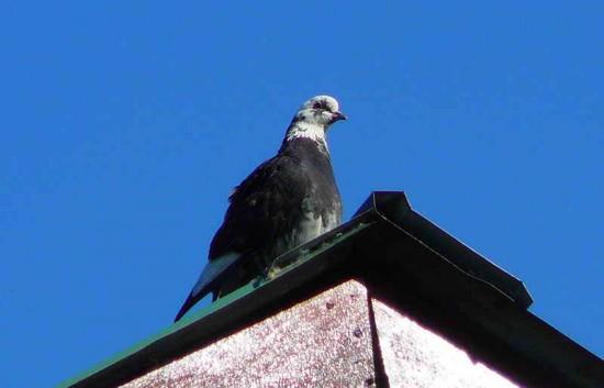 Paloma casera/Rock Pigeon