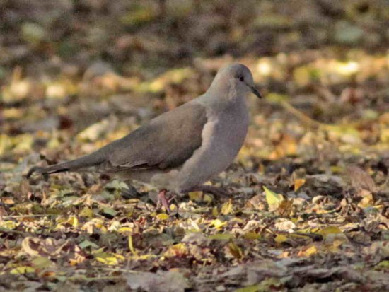 Yerutí/White-tipped Dove