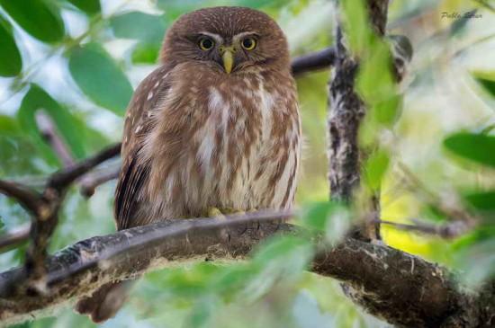 Caburé chico/Ferriginous Pygmy-Owl