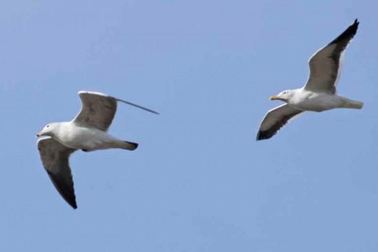 Gaviotas/Gulls