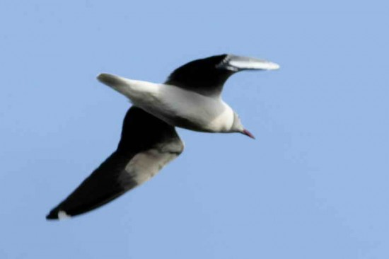 Gaviota capucho gris/Grey-hooded Gull