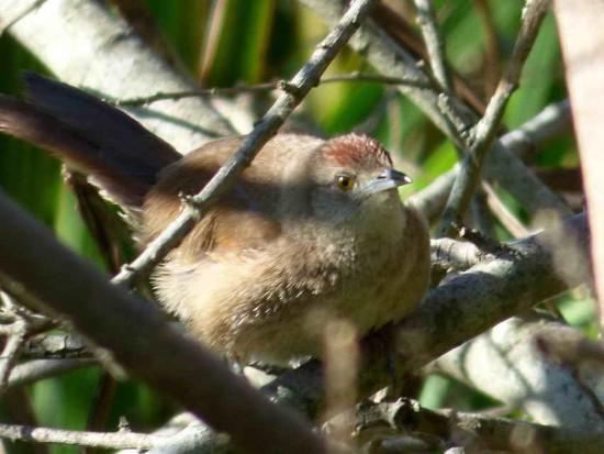 Espinero pecho manchado/Freckle-breasted Thornbill