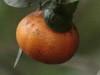 Mandarino/Mandarin orange