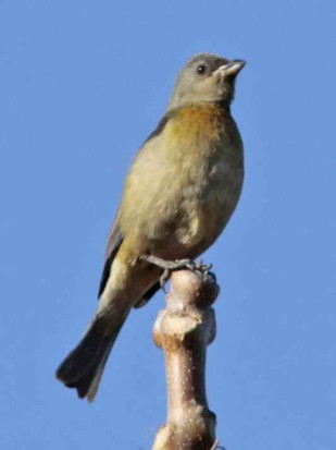 Naranjero J/ Blue-and-yellow Tanager J