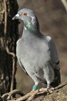 Paloma mensajera/Carrier pigeon