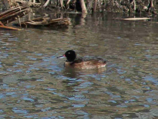 Pato cabeza negra/Black-headed Duck
