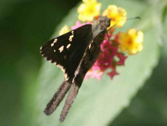 Rabuda común/Dorantes Longtail
