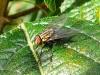Acridiophaga sp