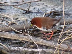 Burrito colorado/Red-and-white Crake