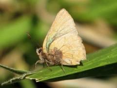 Frotadora esmeralda común/Remus Greenstreak