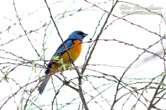 Naranjero N/Blue-and-yellow Tanager M