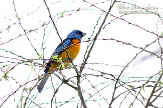 Naranjero N/Blue-and-yellow Tanager M