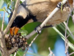 Pepitero de collar/Golden-billed Saltator