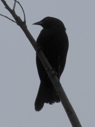Tordo de matorral /Scrub Blackbird