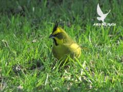 Cardenal amarillo/Yellow Cardinal