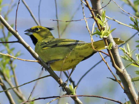Cardenal amarillo M/Yellow Cardinal M