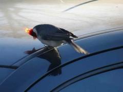 cardenal común1