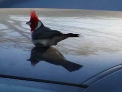 cardenal común2