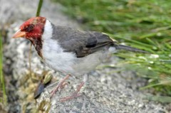 Cardenilla J/Yellow-billed Cardinal J