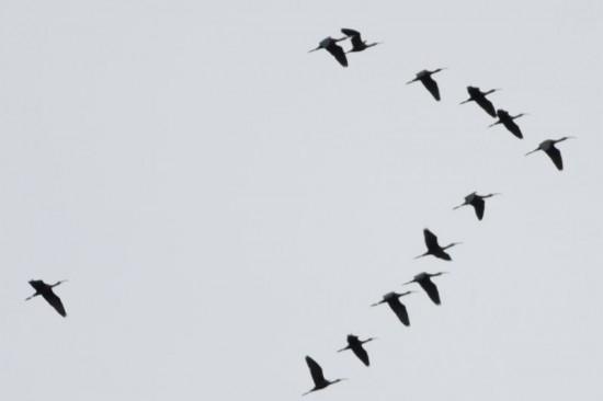 Cuervillo de cañada/White-faced Ibis