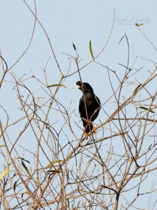 Estornino crestado/Crested Myna