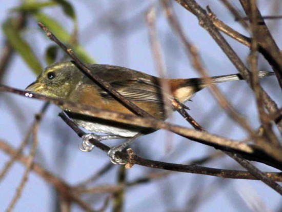 Monterita litoraleña/Grey-throated Warblimg-Finch