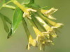 Duraznillo negro/Cestrum euanthes