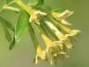 Duraznillo negro/Cestrum euanthes