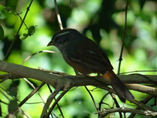 Monterita litoraleña/Grey-throated Warbling-Finch
