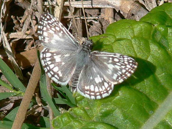 Ajedrezada común/Orcus Checkered Skipper