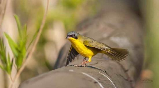 Arañero cara negra M/Masked Yellowthroat M