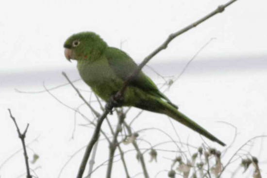 Calancate alas rojas/White-eyed Parakeet