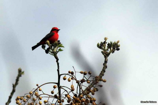 Churrinche M/Vermilion Flycatcher N